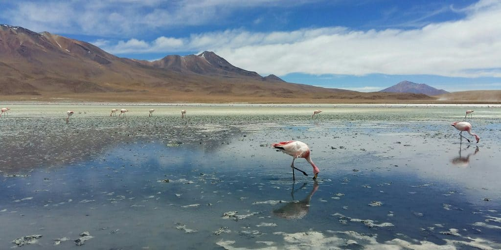 Flamingos in the Bolivian Altiplano, Bolivia