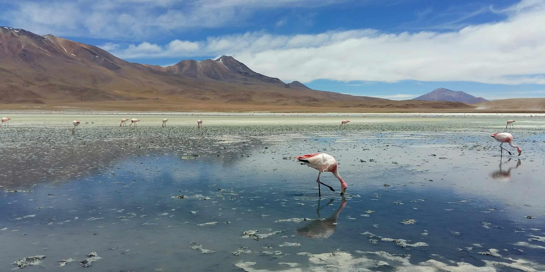 Flamingos, Bolivia