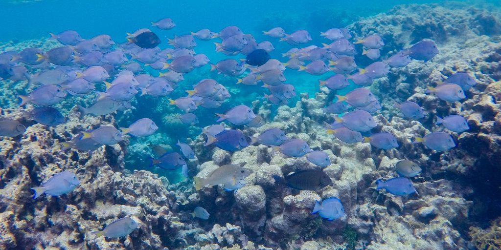 School of blue fish while snorkeling in Utila