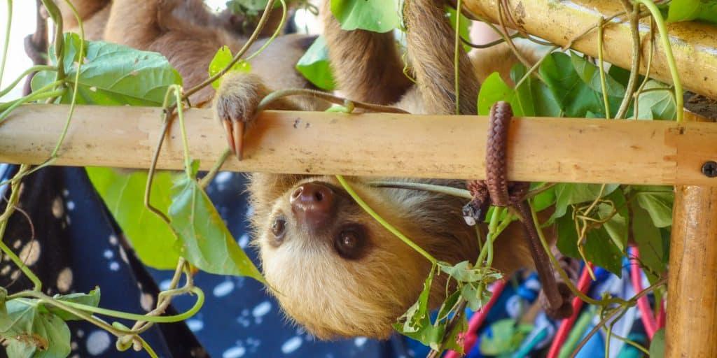 Baby sloth at the Jaguar Rescue Centre in Puerto Viejo de Talamanca, Costa Rica
