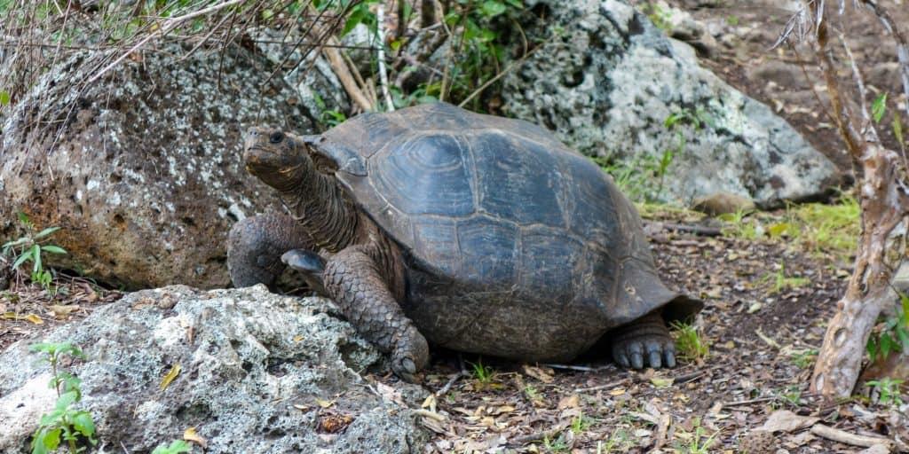 Giant turtle at La Galapaguera de Cerro Colorado, San Cristobal, Galapagos