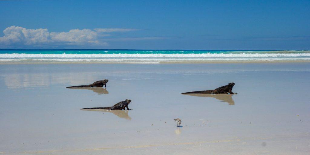 Marine iguanas on sandy beach, Tortuga Bay, Santa Cruz, Galapagos, Ecuador