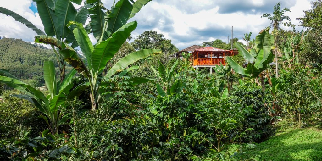 Coffee plantation in Salento, Colombia