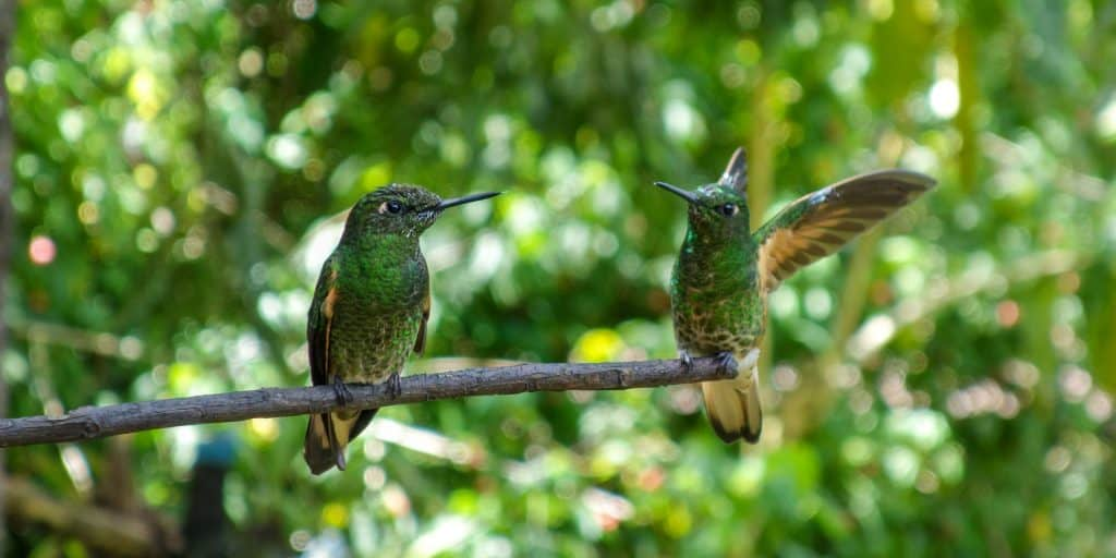 Two hummingbirds at the Casa de los Colibris, Cocora Valley, Colombia
