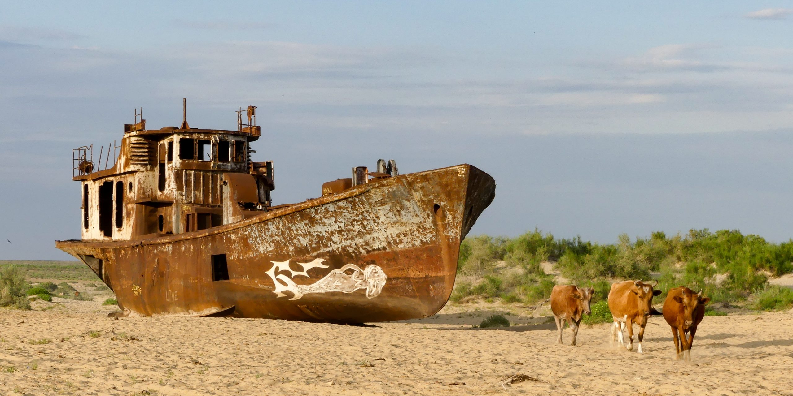 Cows walking in front of an abandoned ship in the Aral Sea, Uzbekistan