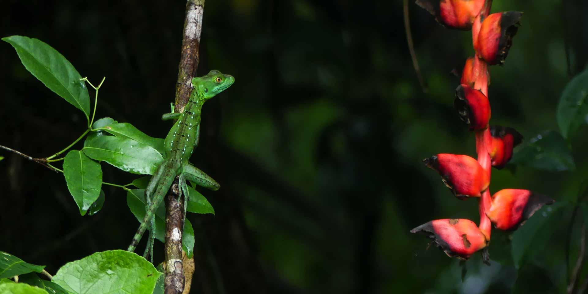 Basilisk lizard in the jungle of Costa Rica
