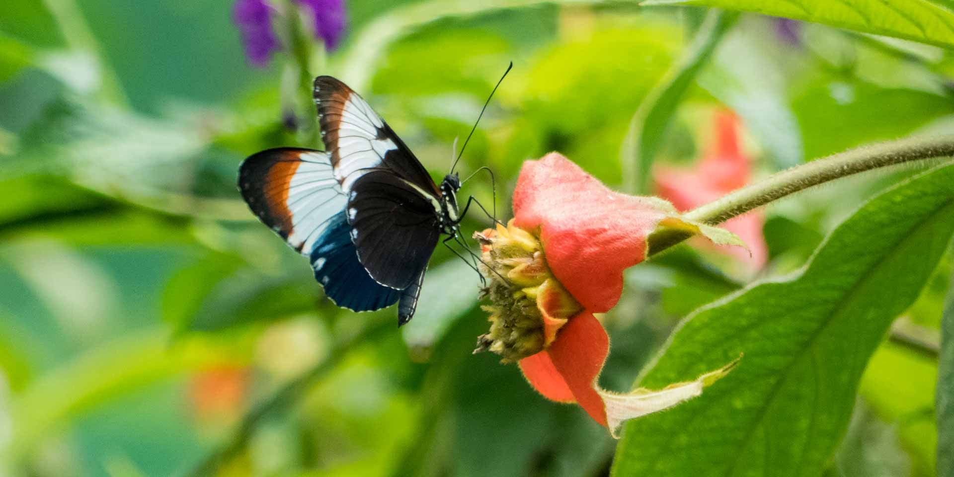 Butterfly in a Mariposario in Costa Rica