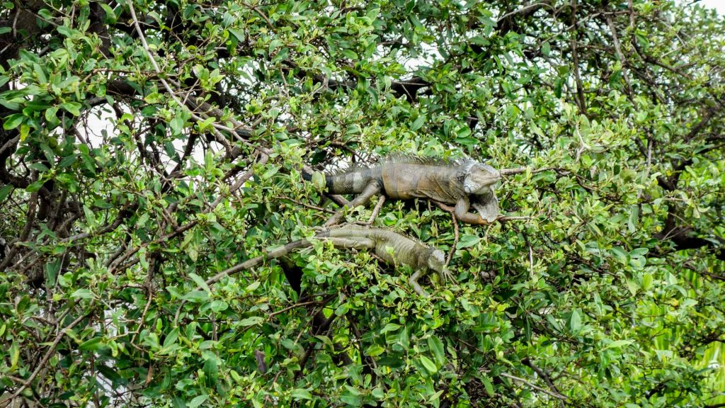 Giant Iguanas lying on a tree in Guayaquil