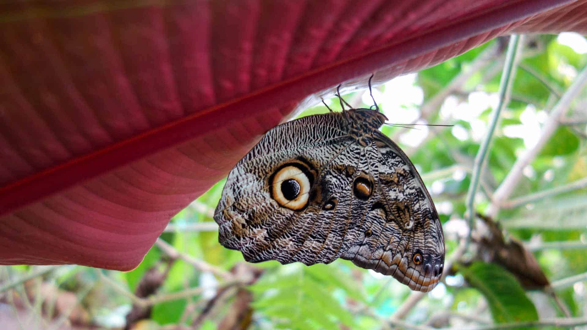 Buttlerfly in the Mariposario in Mindo