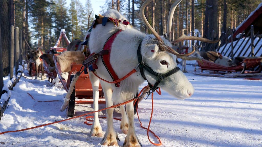 Reindeer in Rovianiemi