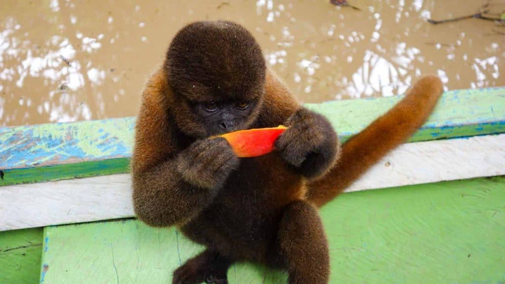 Monkey in the Amazon in Peru