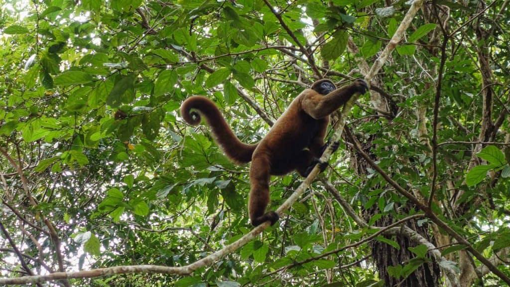 Monkey in the Peruvian Amazon