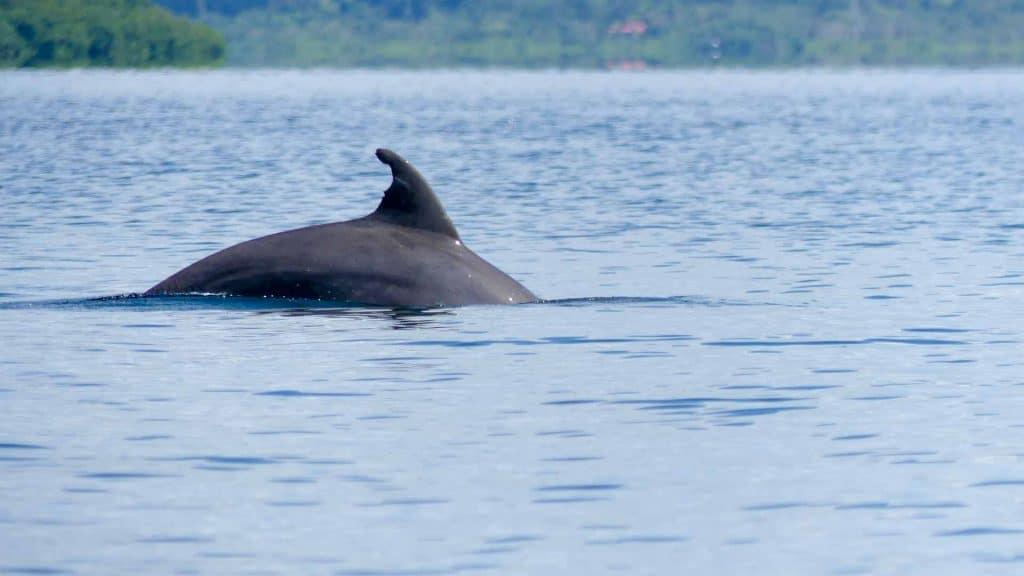 Dolphin in Bocas del Toro