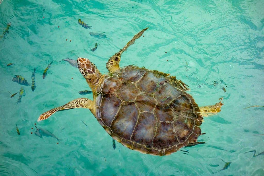 A sea turtle at Isla Mujeres, Mexico