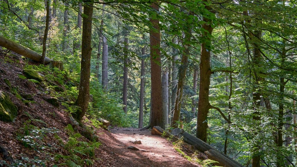Forest in the Black Forest